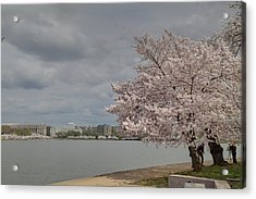 Cherry Blossoms - Washington Dc - 011362 Acrylic Print by DC Photographer