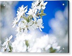 Cherry Tree Blossom  Acrylic Print by Raimond Klavins