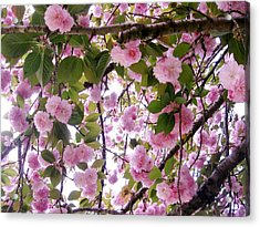 Cherry Tree Close-up Acrylic Print by Mimi Saint DAgneaux