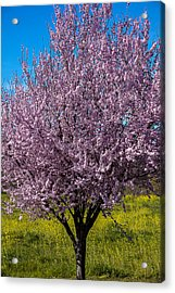 Cherry Tree In Bloom Acrylic Print by Garry Gay