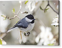 Chickadee And Magnolia - D008970 Acrylic Print by Daniel Dempster