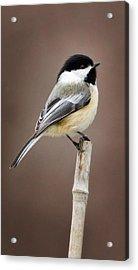 Chickadee Acrylic Print by Bill Wakeley