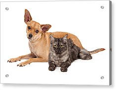 Chihuahua Dog And Gray Cat Acrylic Print by Susan  Schmitz