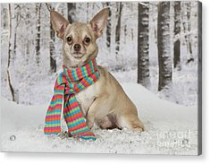 Chihuahua In Winter Acrylic Print by John Daniels
