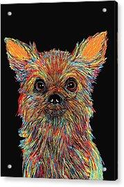 Chihuahua - Rose Acrylic Print by Bert Hornbeck