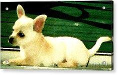Chihuahua Watercolor Acrylic Print by Gail Matthews