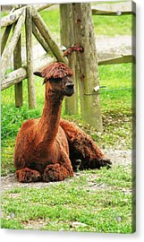 Chill-paca Acrylic Print by Christopher Hoffman