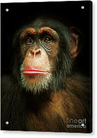 Chimp 20150210brun Acrylic Print by Wingsdomain Art and Photography