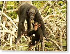 Chimpanzee Adult With Young Acrylic Print by Jean-Michel Labat