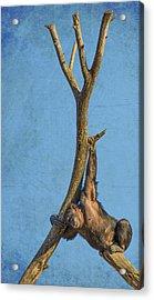 Chimpanzee Camouflage Acrylic Print by Bill Tiepelman