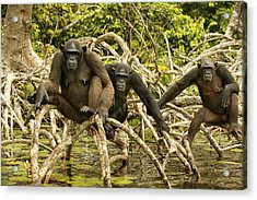Chimpanzees On Mangroves Acrylic Print by Jean-Michel Labat