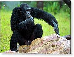 Chimpanzees Acrylic Print by Pan Xunbin