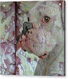 China Dog Acrylic Print by Judy Wood
