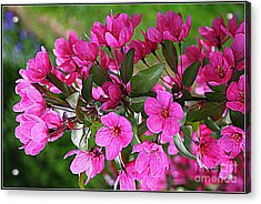 Chinese Apple Blossoms Acrylic Print by Dora Sofia Caputo Photographic Art and Design