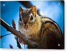 Chipmunk On A Branch Acrylic Print by Bob Orsillo