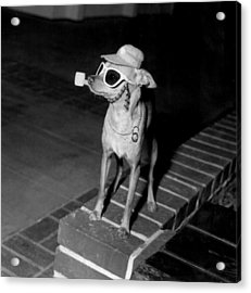 Chiwawa With A Pipe Acrylic Print by Retro Images Archive