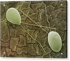 Chlamydomonas Sp. Algae, Sem Acrylic Print by Power And Syred