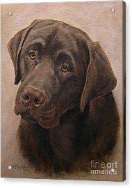Chocolate Labrador Retriever Portrait Acrylic Print by Amy Reges