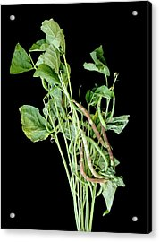 Chocolate Pod Disease In Snap Beans Acrylic Print by Richard Larsen/us Department Of Agriculture