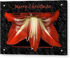 Christmas Amaryllis Acrylic Print by Carolyn Marshall