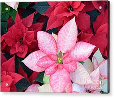 Christmas Pointsettia Acrylic Print by Kathleen Struckle