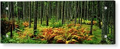 Cinnamon Ferns And Red Spruce Trees Acrylic Print by Panoramic Images