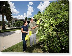 Citrus Greening Disease Research Acrylic Print by Peggy Greb/us Department Of Agriculture