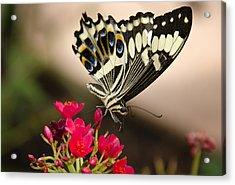 Citrus Swallowtail  Acrylic Print by Saija  Lehtonen