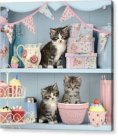 Baking Shelf Kittens Acrylic Print by Greg Cuddiford