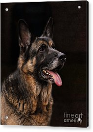 Classic German Shepherd Acrylic Print by Jai Johnson