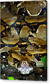 Close-up Of A Boa Constrictor, Arenal Acrylic Print by Panoramic Images