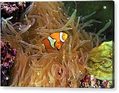 Close Up Of A Clown Fish In An Anemone Acrylic Print by Miva Stock