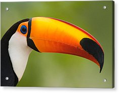 Close-up Of A Toco Toucan Ramphastos Acrylic Print by Panoramic Images