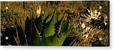 Close-up Of An Aloe Vera Plant, Baja Acrylic Print by Panoramic Images