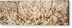 Close Up Of Flowering Cherry Tree Acrylic Print by Panoramic Images