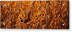 Close-up Of Ripe Soybeans, Minnesota Acrylic Print by Panoramic Images