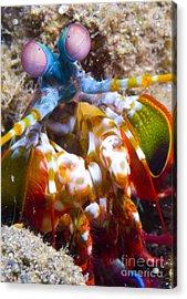 Close-up View Of A Mantis Shrimp Acrylic Print by Steve Jones