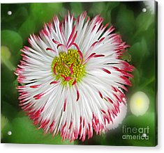 Closeup Of White And Pink Habenera English Daisy Flower Acrylic Print by Valerie Garner