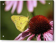 Clouded Sulphur Acrylic Print by Cindi Ressler
