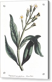Clove Eugenia Aromatica Acrylic Print by Anonymous