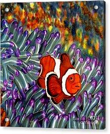 Clown Fish In Hiding Acrylic Print by Anderson R Moore