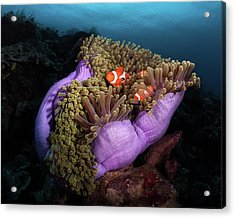 Clown Fish With Magnificent Anemone Acrylic Print by Marco Fierli