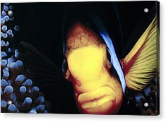 Clownfish 8 Acrylic Print by Dawn Eshelman