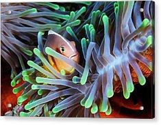 Clownfish Acrylic Print by Barathieu Gabriel