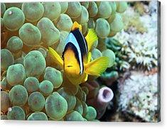 Clownfish In Anemone Acrylic Print by Georgette Douwma