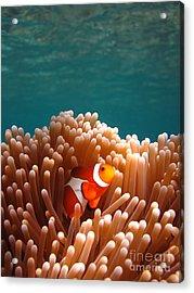 Clownfish In Coral Garden Acrylic Print by Fototrav Print