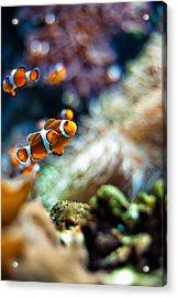 Clownfish  Acrylic Print by Ulrich Schade