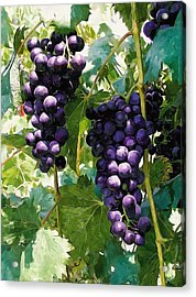 Clusters Of Red Wine Grapes Hanging On The Vine Acrylic Print by Lanjee Chee