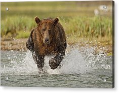Coastal Grizzly Boar Fishing Acrylic Print by Kent Fredriksson