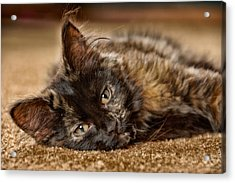 Coco Kitten Acrylic Print by Trever Miller
